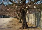 通学路の桜も年をとっています