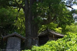 大杉 樹齢1200年